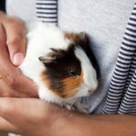 Is Using Guinea Pig Shampoo Safe?